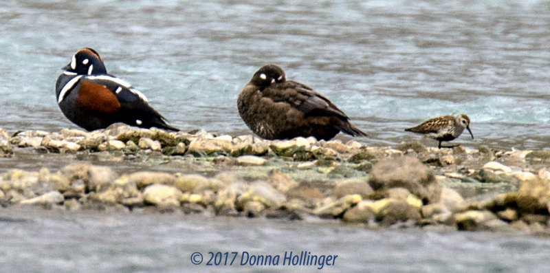 Two Harlequin Ducks and a Dunlin?