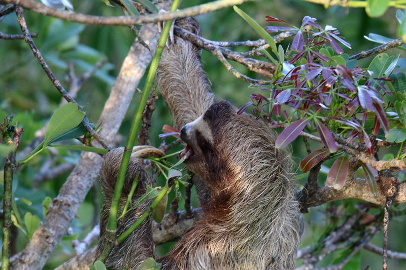 A sloth eating Cecropia Leaves