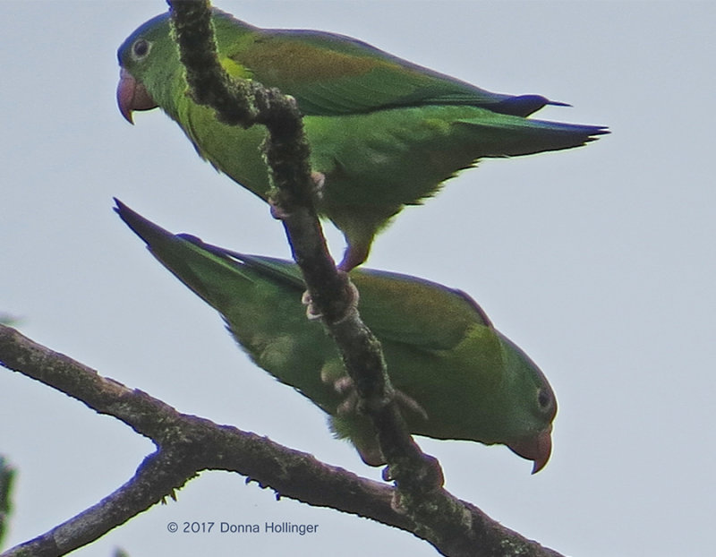 Orange Chinned Parakeet Brotogeris jugularis