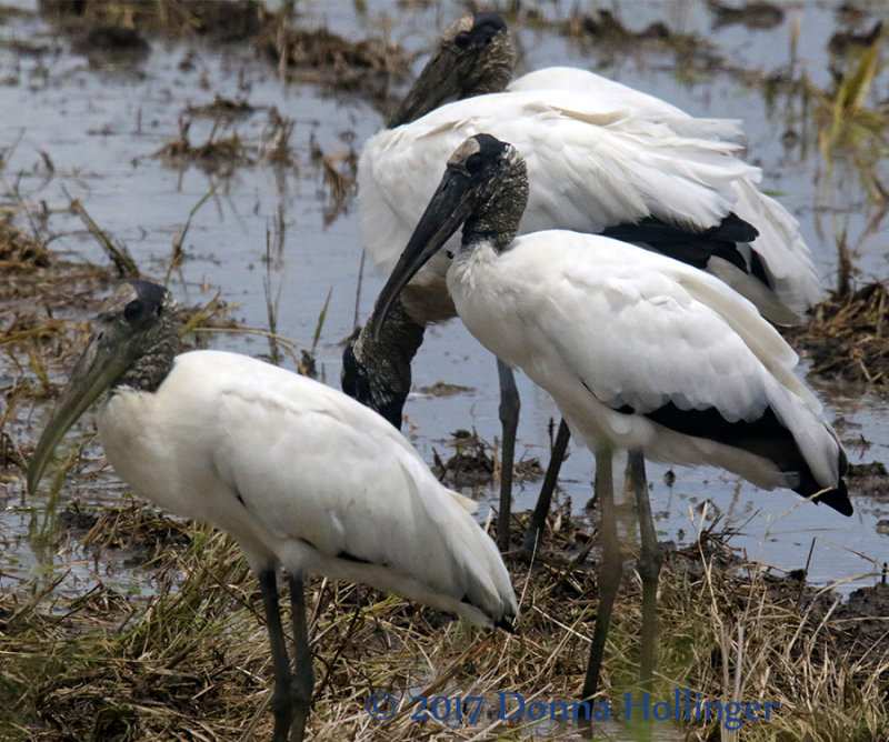 Three Wood Storks