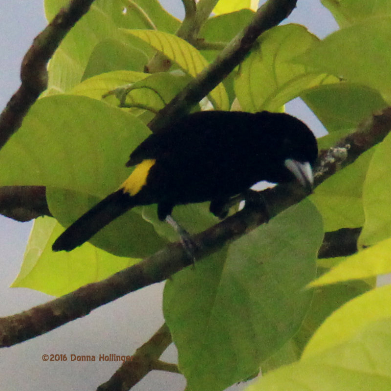 Yellow Rumped Tanager