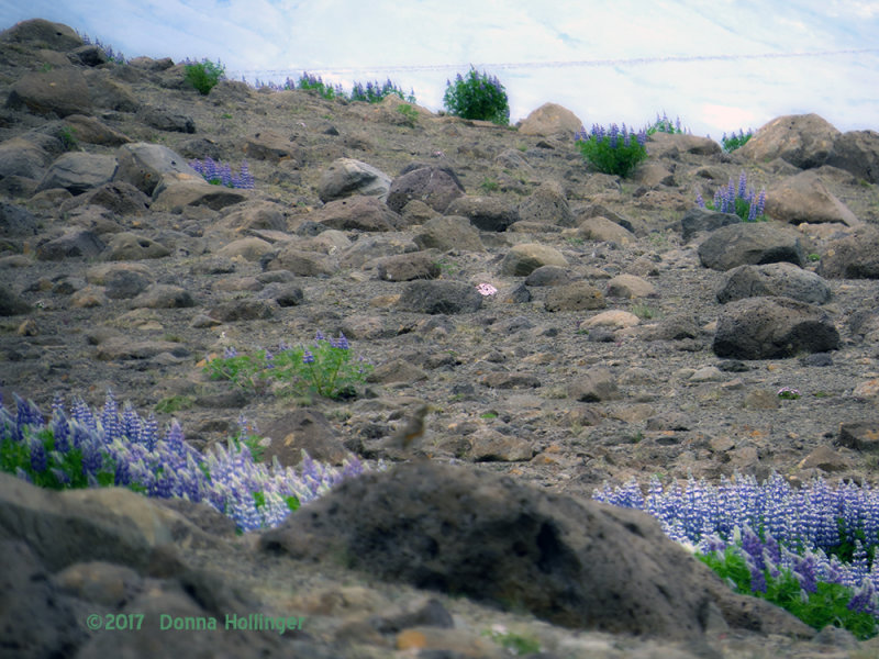 Lupine on stony ground in Iceland