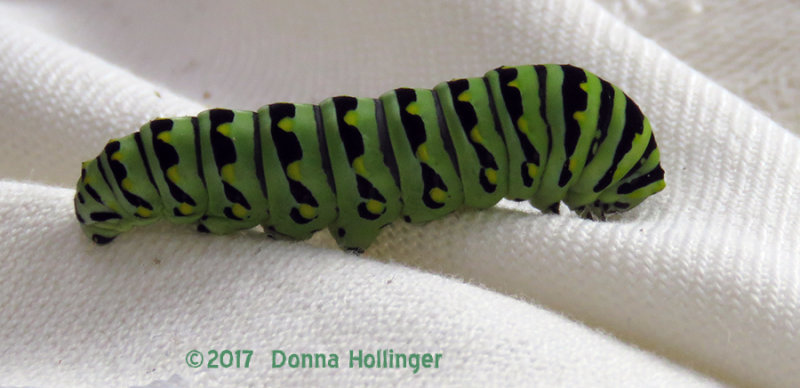My  last glimpse of Caterpillar today...BST...who turned Green!