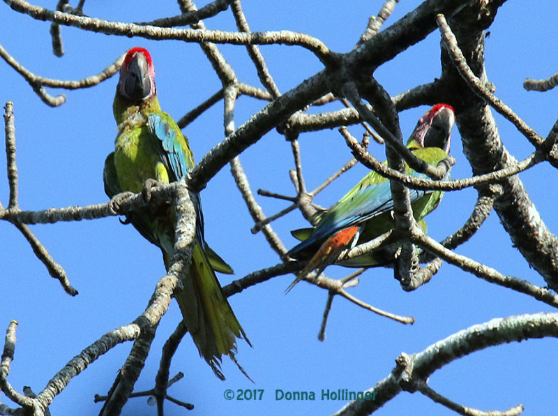 Two Screaming Great Green Macaws