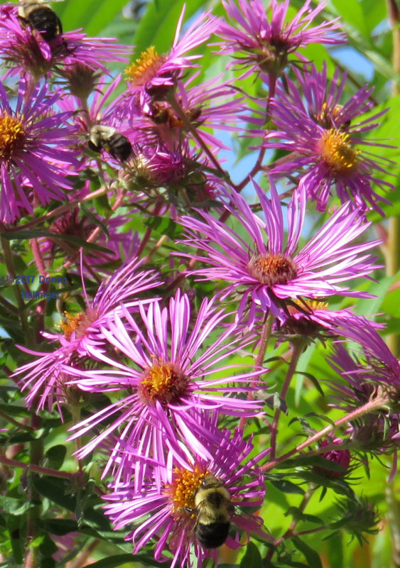 Bees on Asters in the Sun