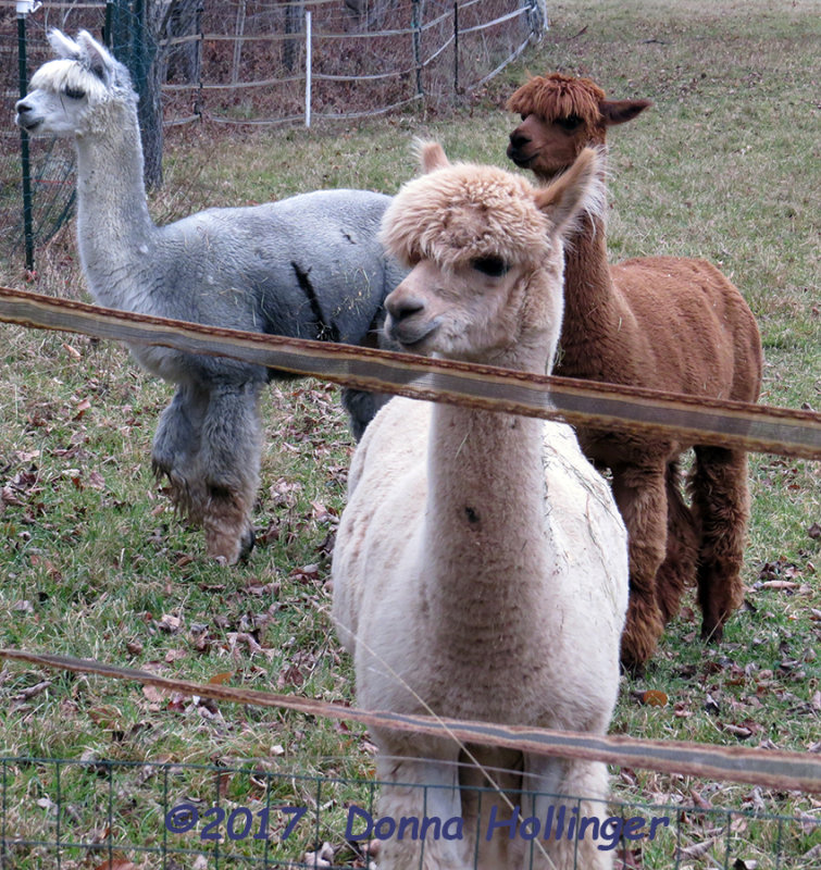 Alpacas At Wallaces Farm