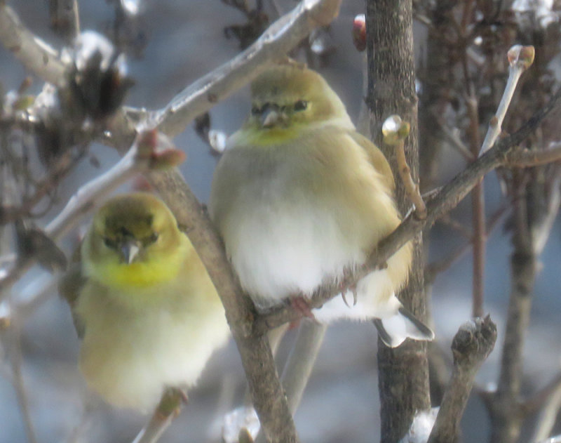 Winter plumage on fluffed out Goldfinches