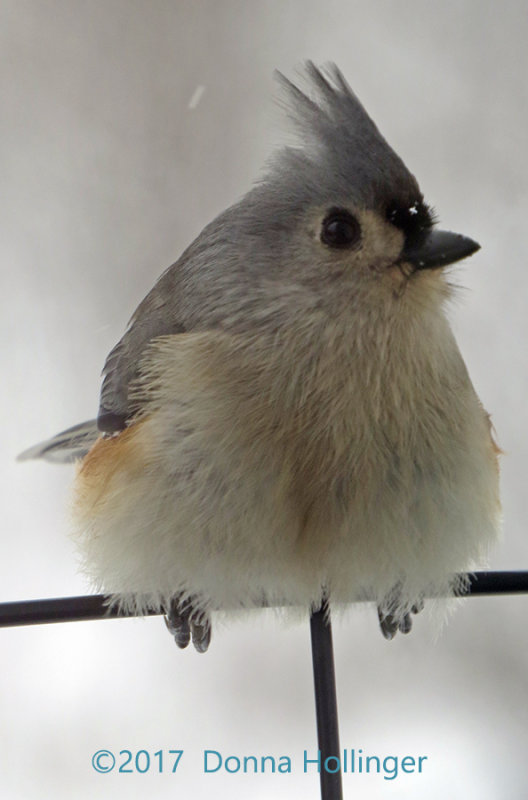 Titmouse on the deck