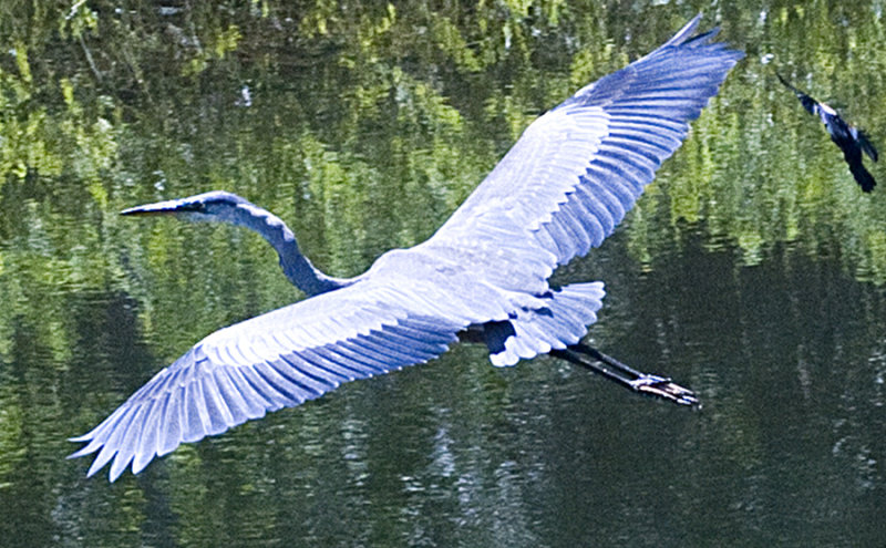 Great Blue Heron being chased by our GUTSY RedWinged BB