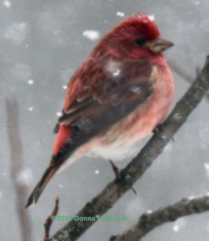 Purple Finch, in a Snowstorm, We are having quite a dumping!