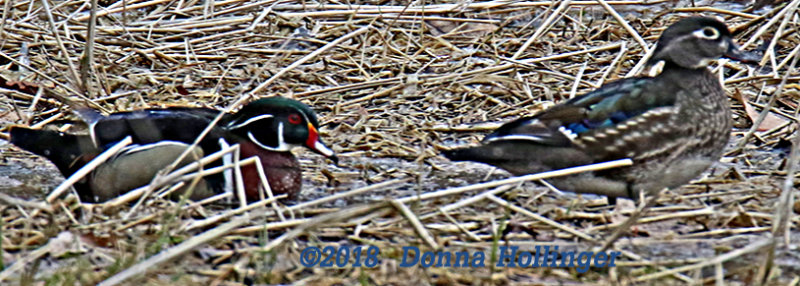 Feeding in the Field, Woodduck pair
