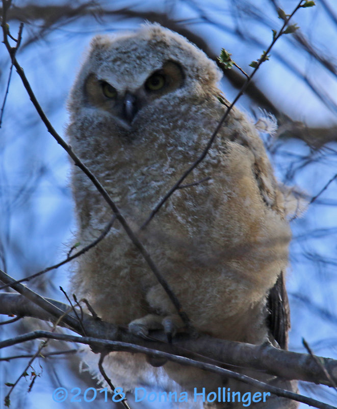 Great Horned Owlette