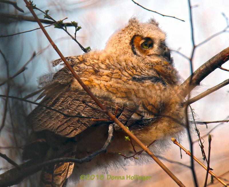 Great Horned Owlette in Better Light
