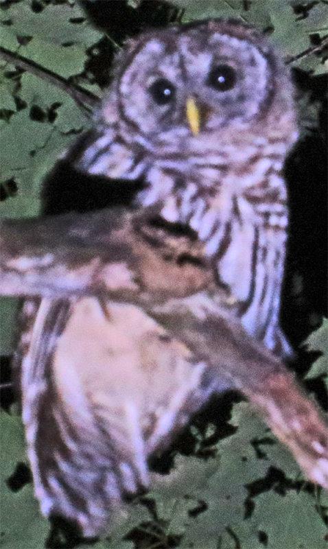Barred Owl Off Mine Road