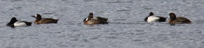 Three Pairs of Greater Scaup on Fresh Pond Today
