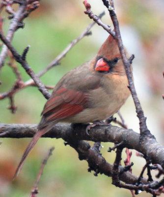 Female Cardinal in the Peach Tree