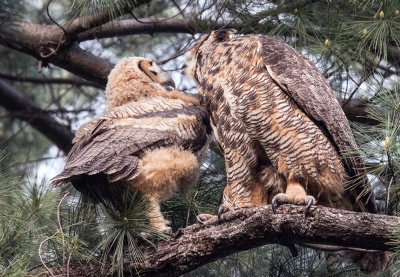The little owl is snuggling with the big Owl
