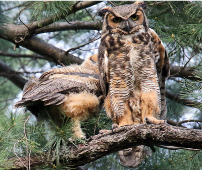 Little Owl is snuggling with the Big Owl