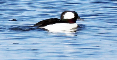 Bufflehead Male Swimming at the Parker River