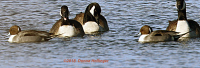 Two Pintail Ducks amongs the Canada Geese Flocks