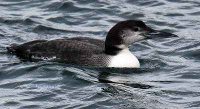 A Common Loon winter Plumage at Rockport