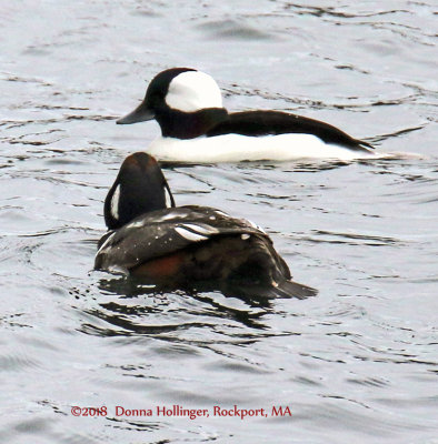 A Bufflehead and a Harlequin Duck in Rockport, MA