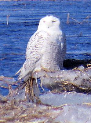 One of Three Snowy Owls near Parker River, Joppa Flats
