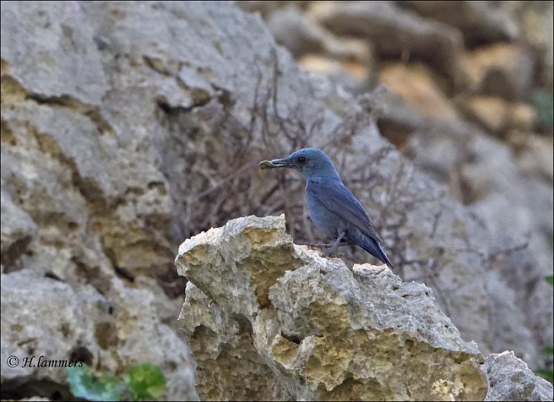 Blue Rock Thrush - Blauwe Rotslijster - Monticola solitarius