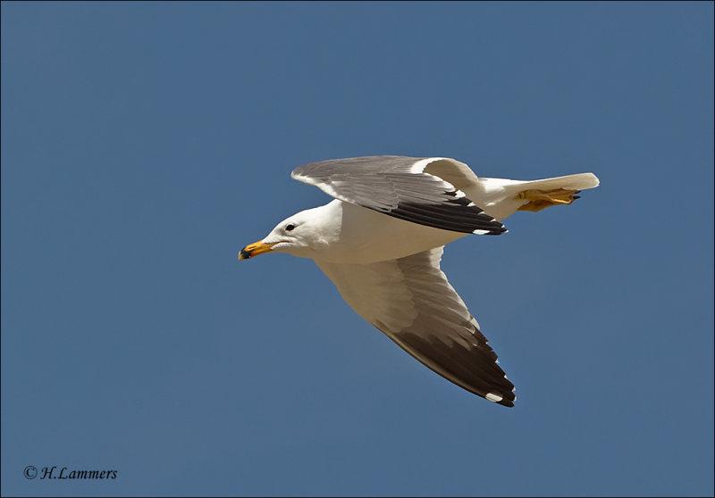Armenian Gull  - Armeense Meeuw - Larus armenicus