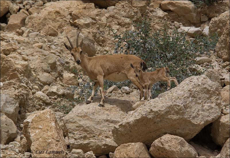 Nubian Ibex- Nubische steenbok - Capra nubiana