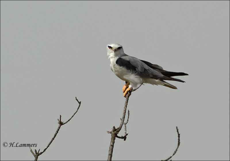 Black-winged Kite - Grijze wouw - Elanus caeruleus