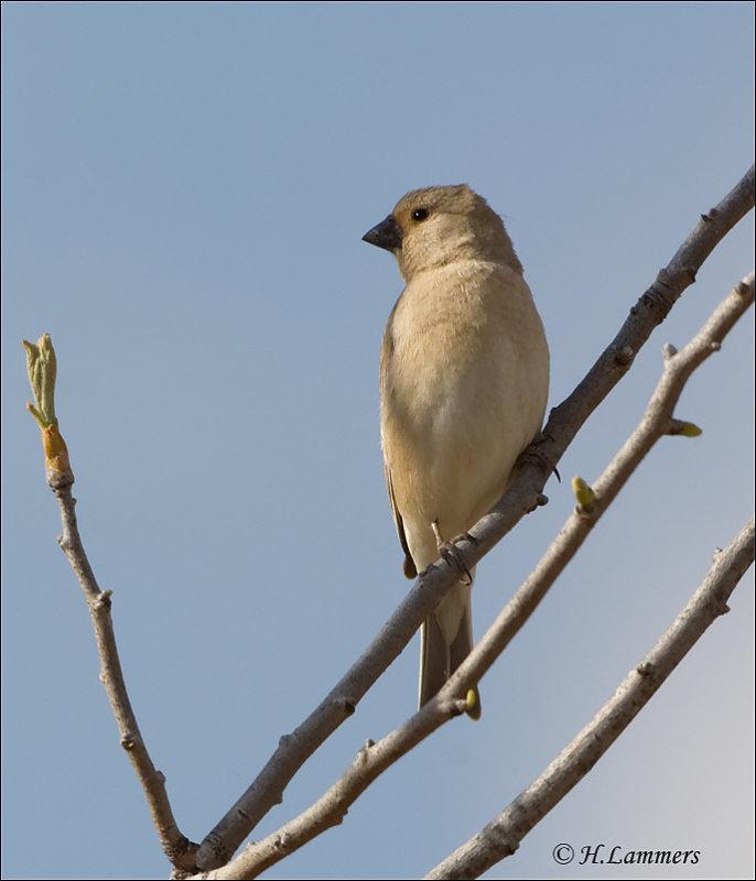 Desert Finch - Vale Woestijnvink -  Rhodospiza obsoleta