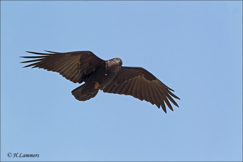 Fan-tailed Raven - Waaierstaartraaf - Corvus rhipidurus