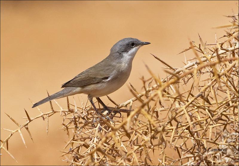 Lesser Whitethroat - Braamsluiper - Sylvia curruca