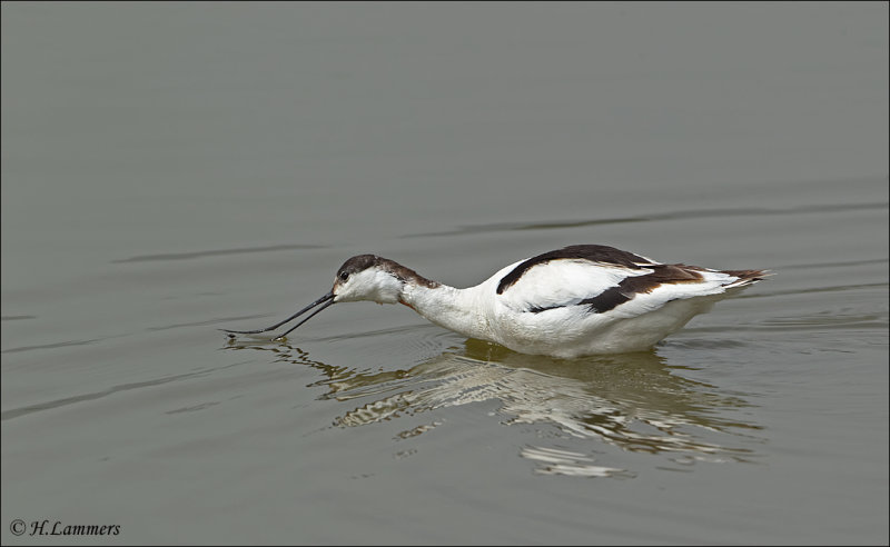 Pied Avocet - Kluut - Recurvirostra avosetta