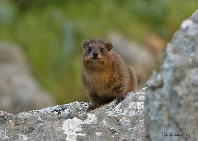 Rock Hyrax - Kaapse Klipdas - Procavia capensis