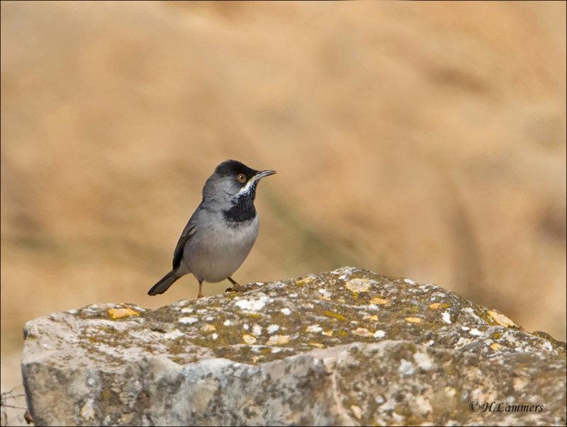 Rüppells Warbler - Rüppells grasmus - Sylvia ruppeli