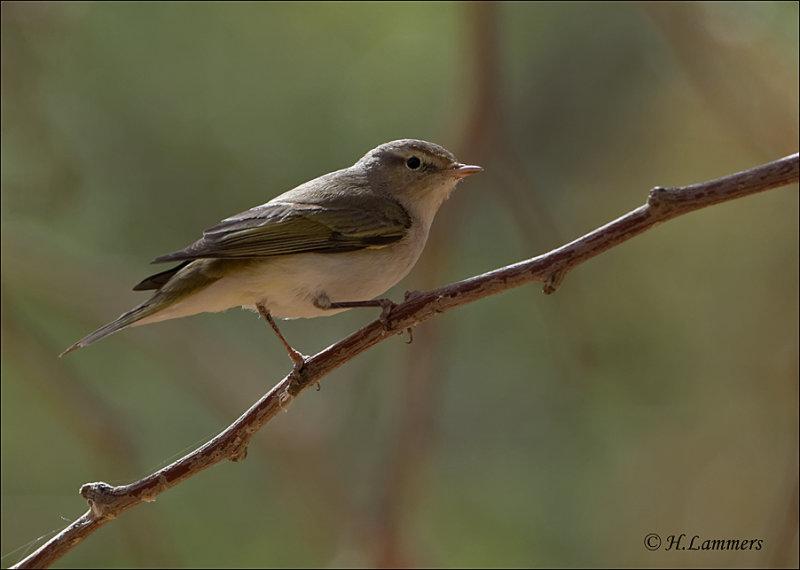 Eastern Bonellis Warbler - Balkan Bergfluiter - Phylloscopus orientalis