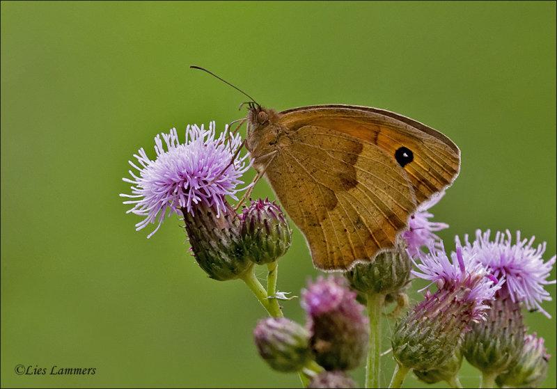 Meadow brown - Bruin zandoogje - Manjola jurtina