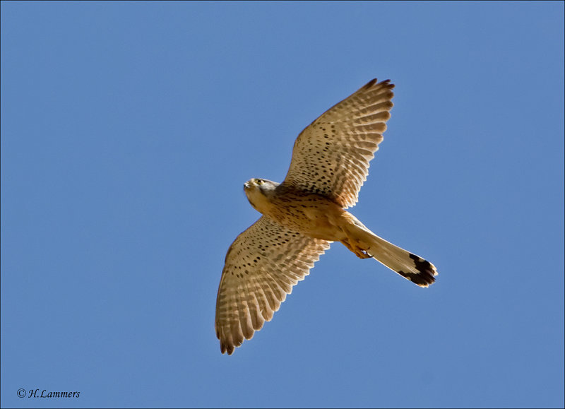 Lesser Kestrel - Kleine Torenvalk - Falco naumanni
