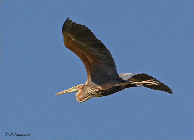 Purple Heron - Purperreiger - Ardea purpurea