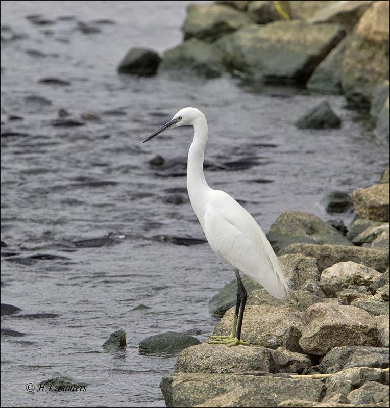 Little Egret - Kleine Zilverreiger - Egretta garzetta
