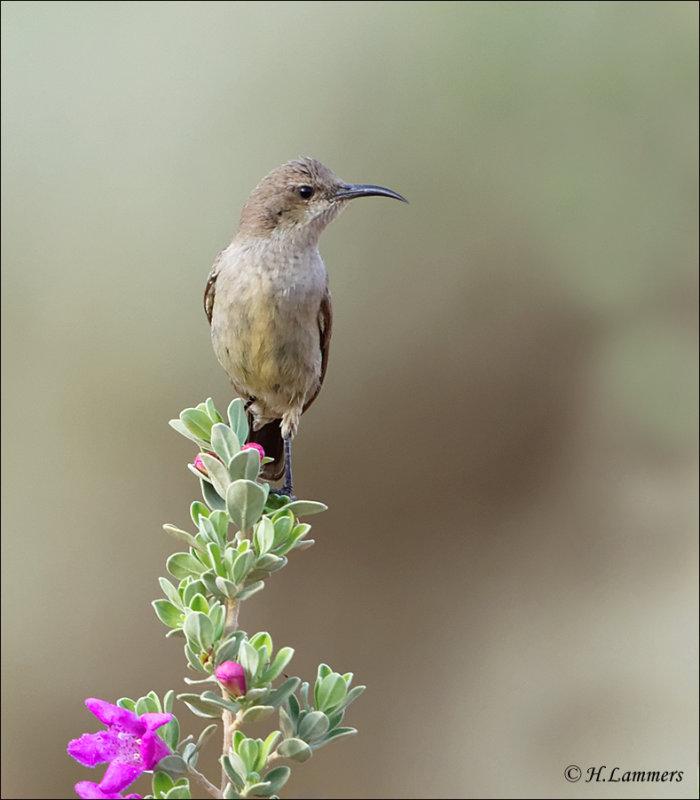Palestine Sunbird ( female)- Palestijnse honingzuiger (vrouw) - Cinnyris osea