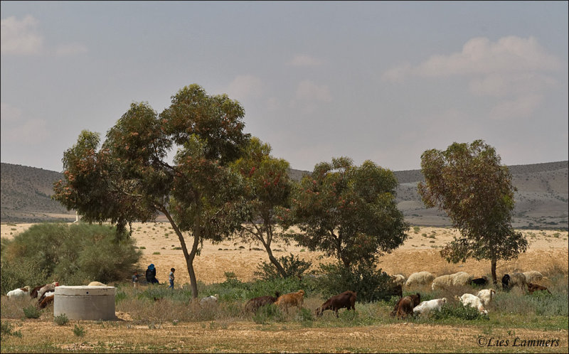 Bedouins Israel