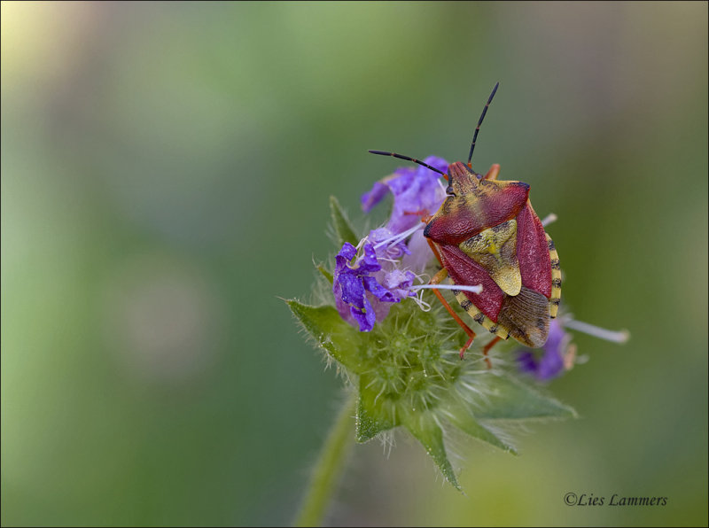 Knoopkruidschildwants - Carpocoris purpureipennis