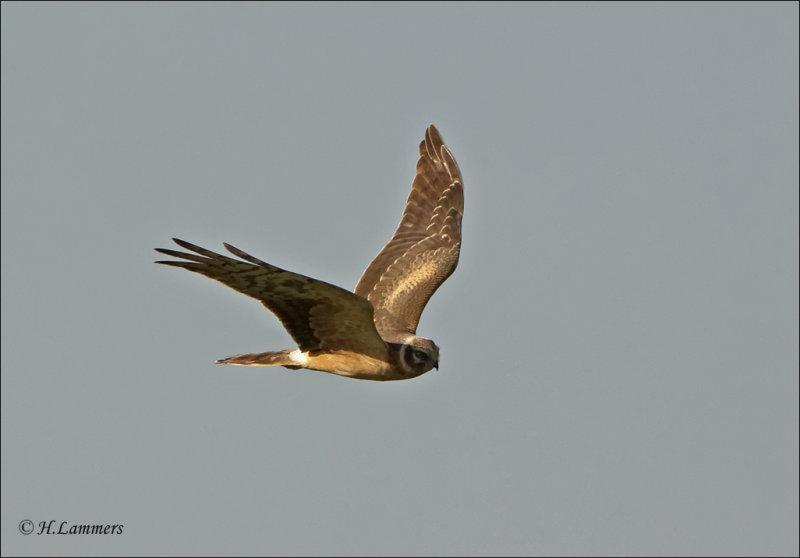 Pallid Harrier - Steppenkiekendief - Circus macrourus