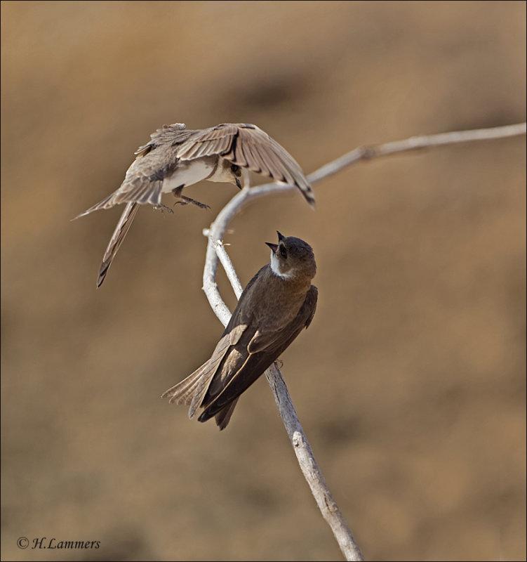 Sand Martin - Oeverzwaluw - Riparia riparia