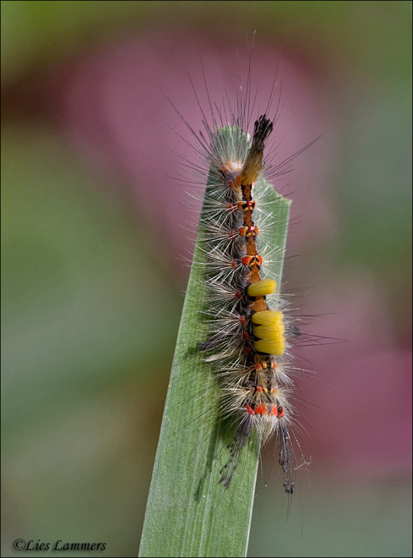 The Vapourer - Witvlakvlinder - Orgyia antiqua
