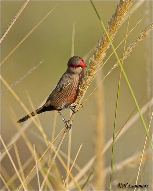 Sint-Helenafazantje - Common Waxbill - Estrilda astrild