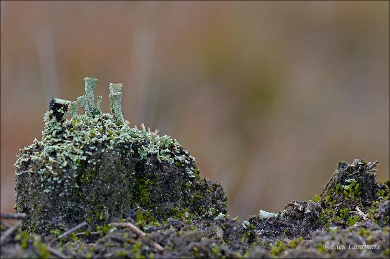 Scarlet-cup Lichen - Rood Bekermos - Cladonia coccifera
